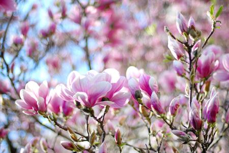 magnolia tree: Magnolia tree blossom in spring garden Stock Photo