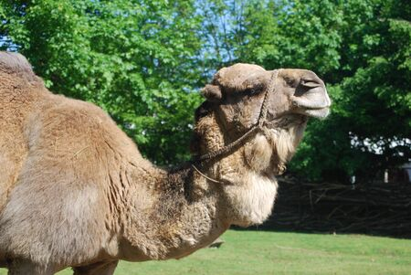 camel Stock Photo - 16313513