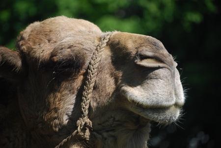 camel Stock Photo - 16313505