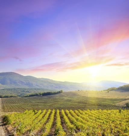 agricultural farm land: vineyard Stock Photo
