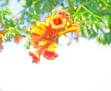 blossoming yellow flower tree: flowers