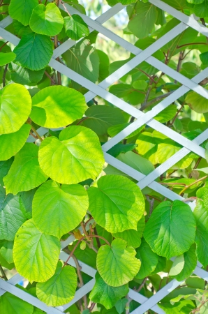actinidia deliciosa: kiwi leaf