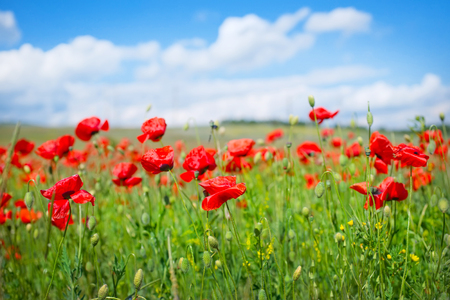 sedation: poppy field and blue sky in Crimea Stock Photo