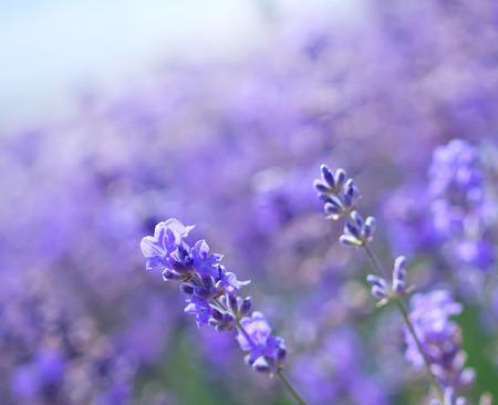 lavande: lavender flowers in the Crimea field, lavender field