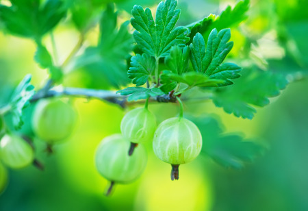 garden green: fresh gooseberry in the summer garden, green gooseberry