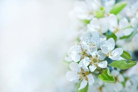 white blossom: spring blossom, white flowers on the tree Stock Photo