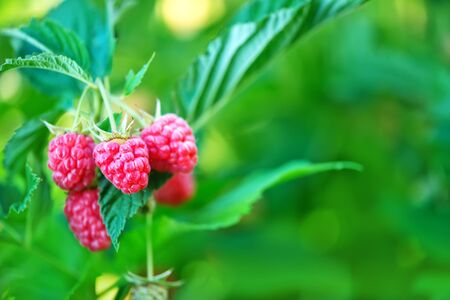 vitamines: fresh raspberry on tree in the garden Stock Photo