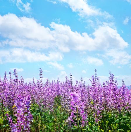 flores moradas: flores de lavanda en campo, el campo de lavanda