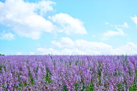 lavendel bloemen in het veld, lavendel veld