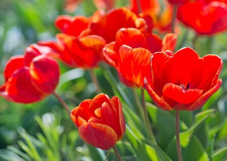 red tulip: spring tulips in the garden, spring blossom