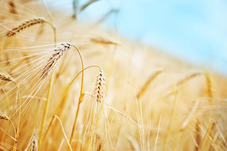 agriculture wallpaper: wheat field in Crimea, golden wheat in field