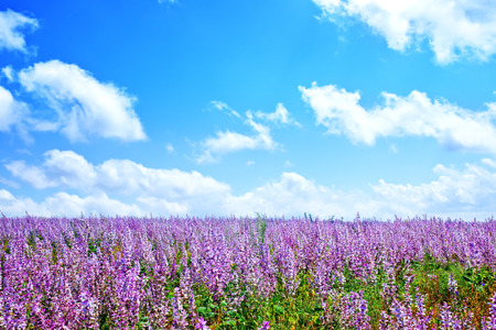 espliego: lavanda en el jardín, flores de lavanda en el campo