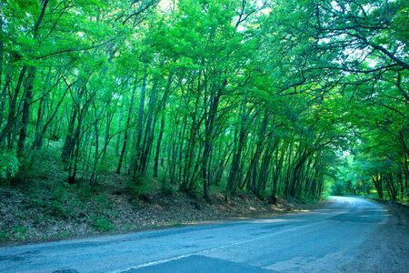 tries: road in the summer forest, tries in forest Stock Photo
