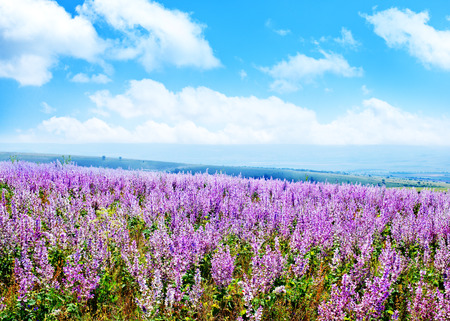 lavande: lavender in field, lavender flowers in field