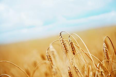 wheat field  in Crimea, golden wheat field Foto de archivo