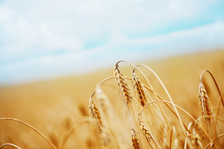 wheat field  in Crimea, golden wheat field Stock Photo