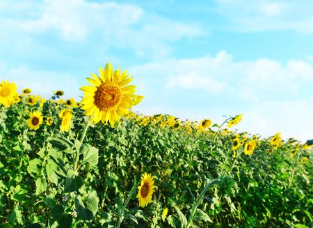 sunflower field: sunflower field in Ukraine, beautiful sunflower field