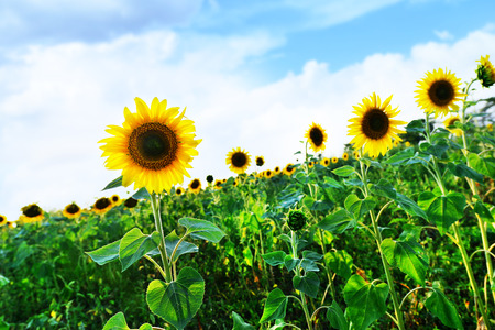 campo de flores: campo de girasol en Ucrania, campo hermoso girasol