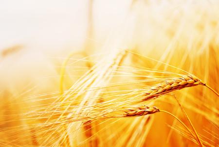 ripe wheat field and blue sky in Ukraine Stok Fotoğraf