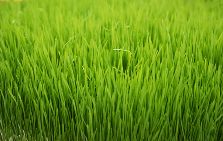 Green wheat background