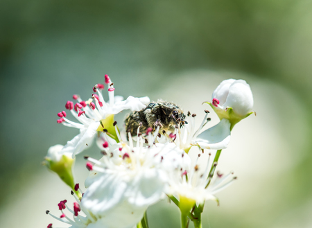 Shaggy beetle pollinating flower