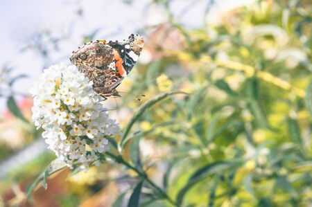 Vanessa atalanta, red admiral butterfly on flower close up photo Stock Photo