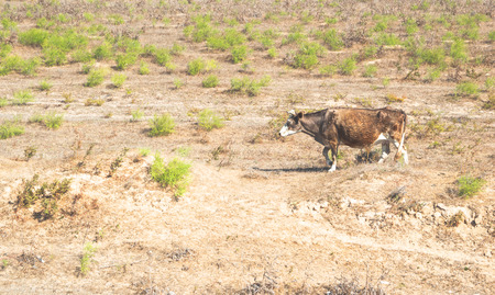 Cow grazing in a meadow in the dry season