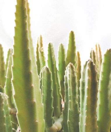 Stapelia Nobilis - home succulent plant closeup shot Stock fotó