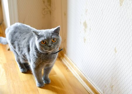 Gray british shorthair cat with a strap in the interior Фото со стока - 129796363