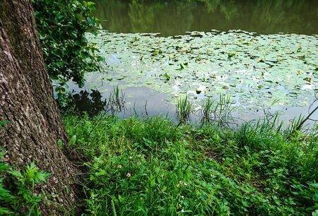 Thickets and forest pond with water lilies