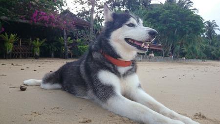 siberian: siberian husky on the beach