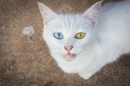 an unusual: Cat with different colored eyes, unusual.
