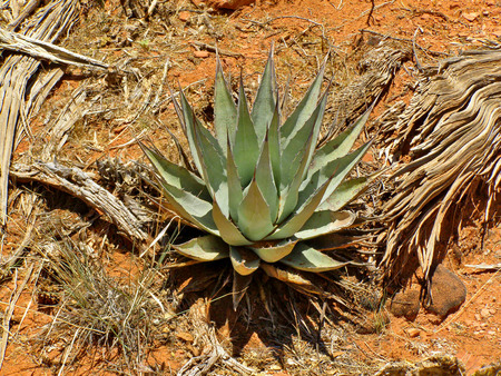 An abstract of an agave plant and drift wood in the red desert dirt of Sedona, Arizona.