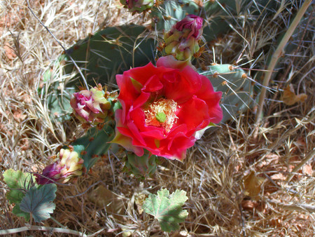 A red chenille prickly pear cactus flower in the desert of Arizona. Banque d'images