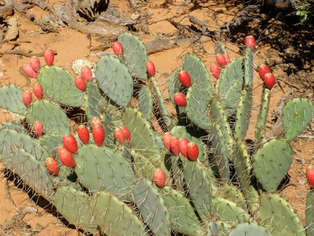Red prickly pear cactus fruit in Sedona in Arizona.
