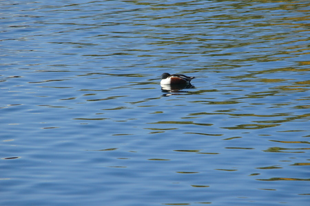 A duck on a lake at the Gilbert Riparian Preserve in Arizona.