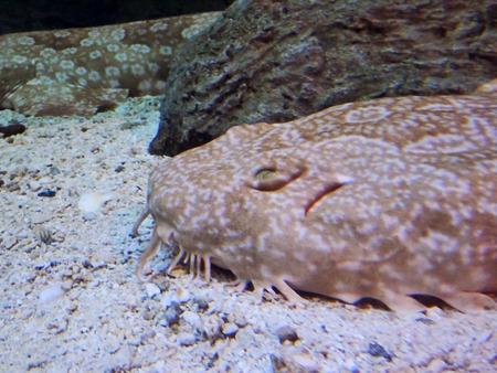 Brown fish in aquarium n Phoenix, Arizona.