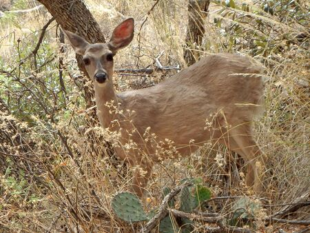 A small mule deer doe by a trail in Chiricahua National Monument in southeast Arizona. Imagens