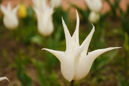five petals: Wild white flowers with five petals.