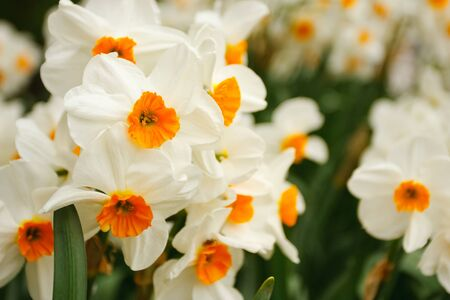 macrophoto: Fresh bunch of narcissuses. Macrophoto of the nature.
