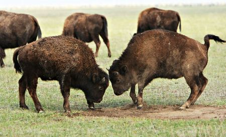 Two wild buffalos fights. Askania-Nova. Ukraine photo