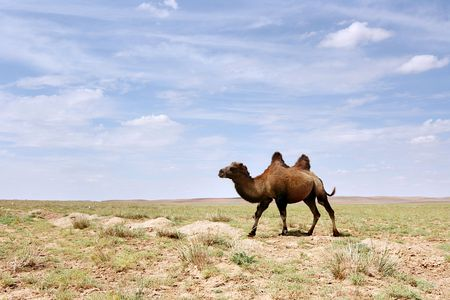 A Bactrian Camel in the Gobi desert of Mongolia photo
