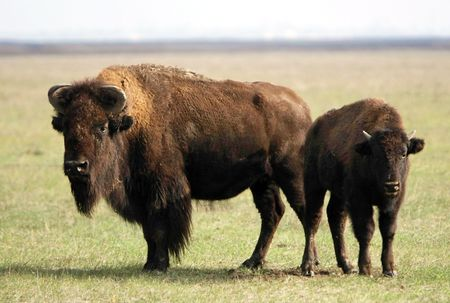 two of wild buffalos. Askania-Nova. Ukraine photo