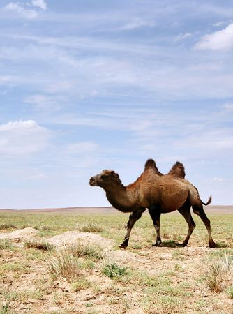 independent mongolia: A Bactrian Camel in the Gobi desert of Mongolia