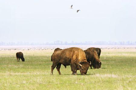Group of wild buffalos. Askania-Nova. Ukraine photo