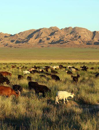 herd of goats in Mongolian prairie on sunset photo