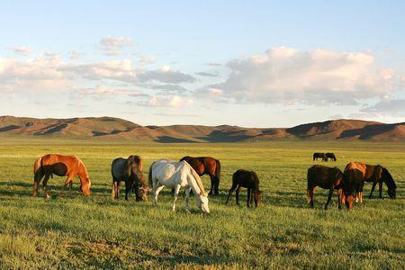 mongolia horse: Herd of horses in the mongolian prairie Stock Photo