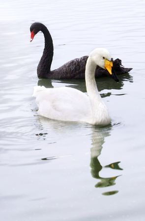 black swan: Black and white swan in the pond. Focus on a black swan
