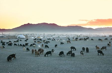 nomadic: Herd of goats in the sunset at mongolian village