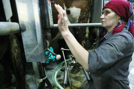 KHERSON REGION, UKRAINE - NOV 4:  Milkmaid  at State enterprise Doslidnitsky economy Askaniyskoe  during open doors day on November 04, 2007 in Kherson region, Ukraine